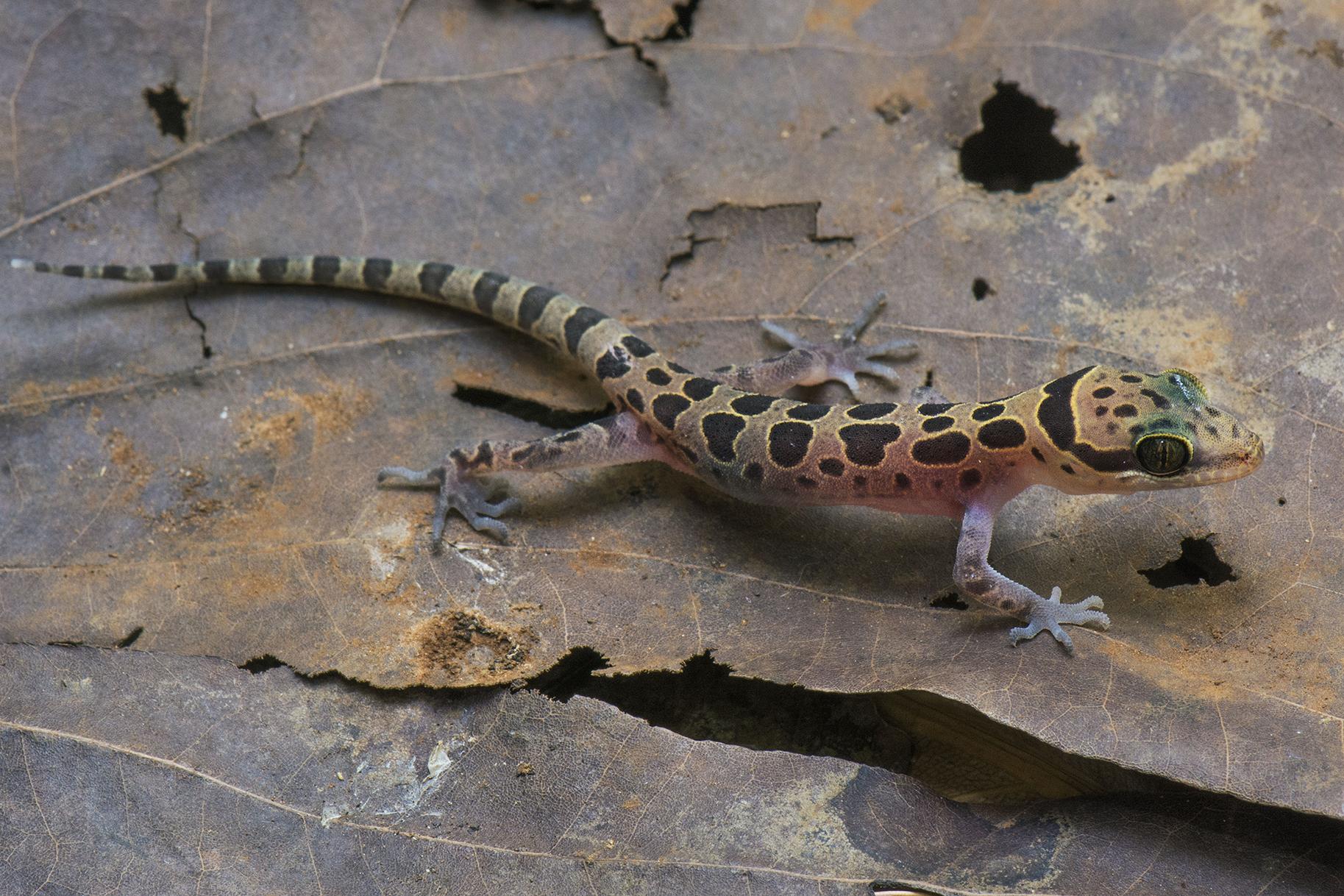 Cyrtodactylus meersi sp. nov., one of the new species described in the article. (Grismer et al. 2018, Figure 7.)