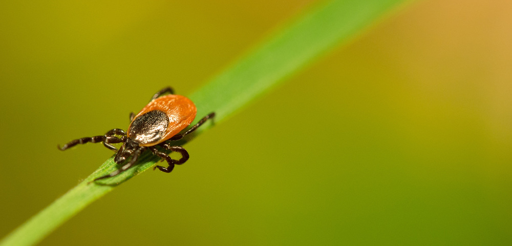 A deer tick (Chou Lab website)