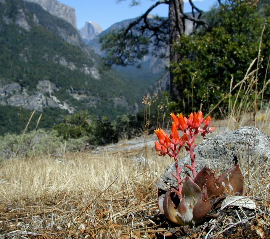 Amoroso and Wilson compared populations of Dudleya cymosa cymosa growing in Yosemite National Park and Sequoia National Park, as one of ten paired-population comparisons in their study. (Barry Breckling, via CalPhotos)
