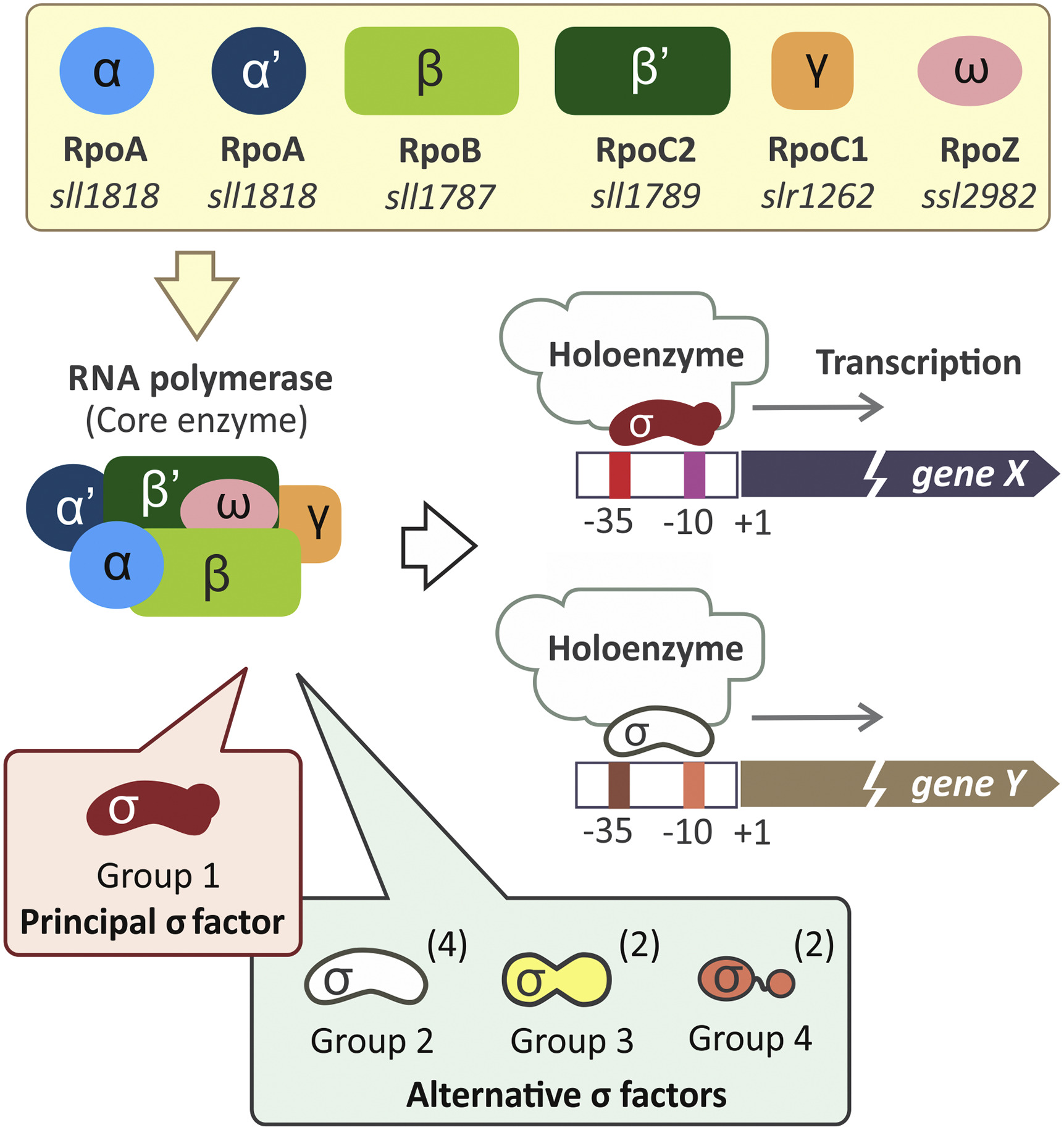 A schematic of the components of the bacterial RNA polymerase and the role of a sigma factor in transcription (Srivastava et al. 2020, Figure 1)
