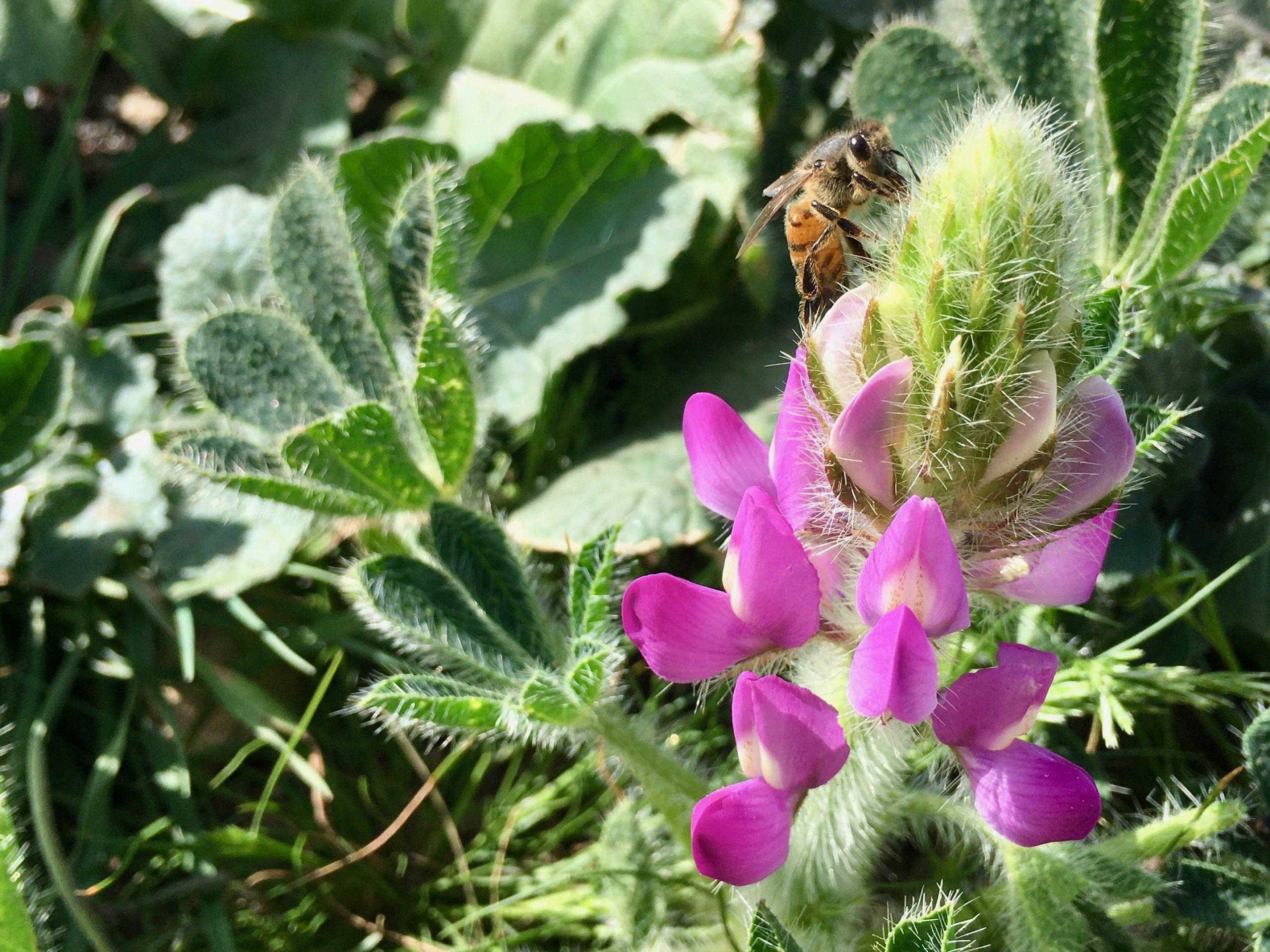 A honeybee visits a lupine flower